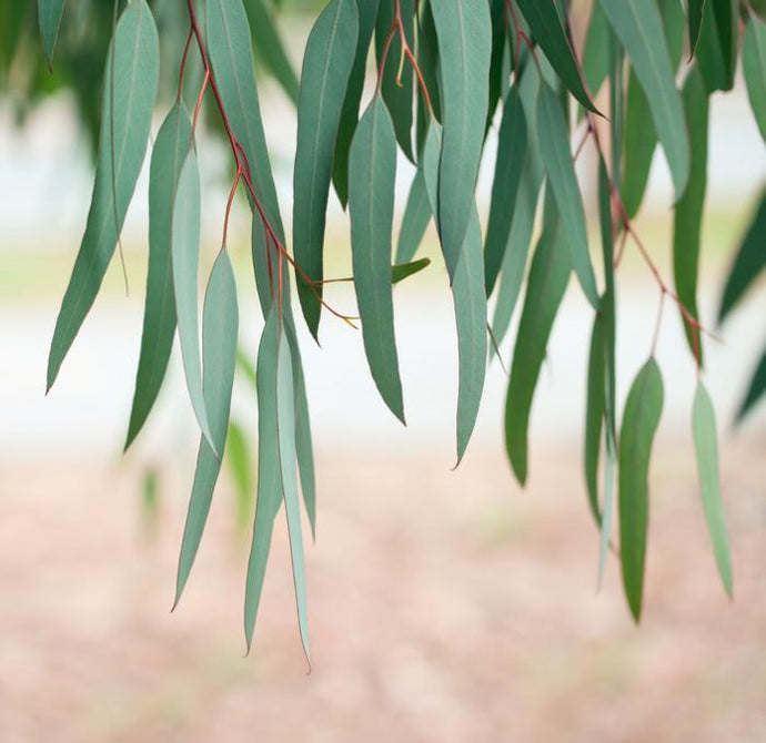 All Things Eucalyptus