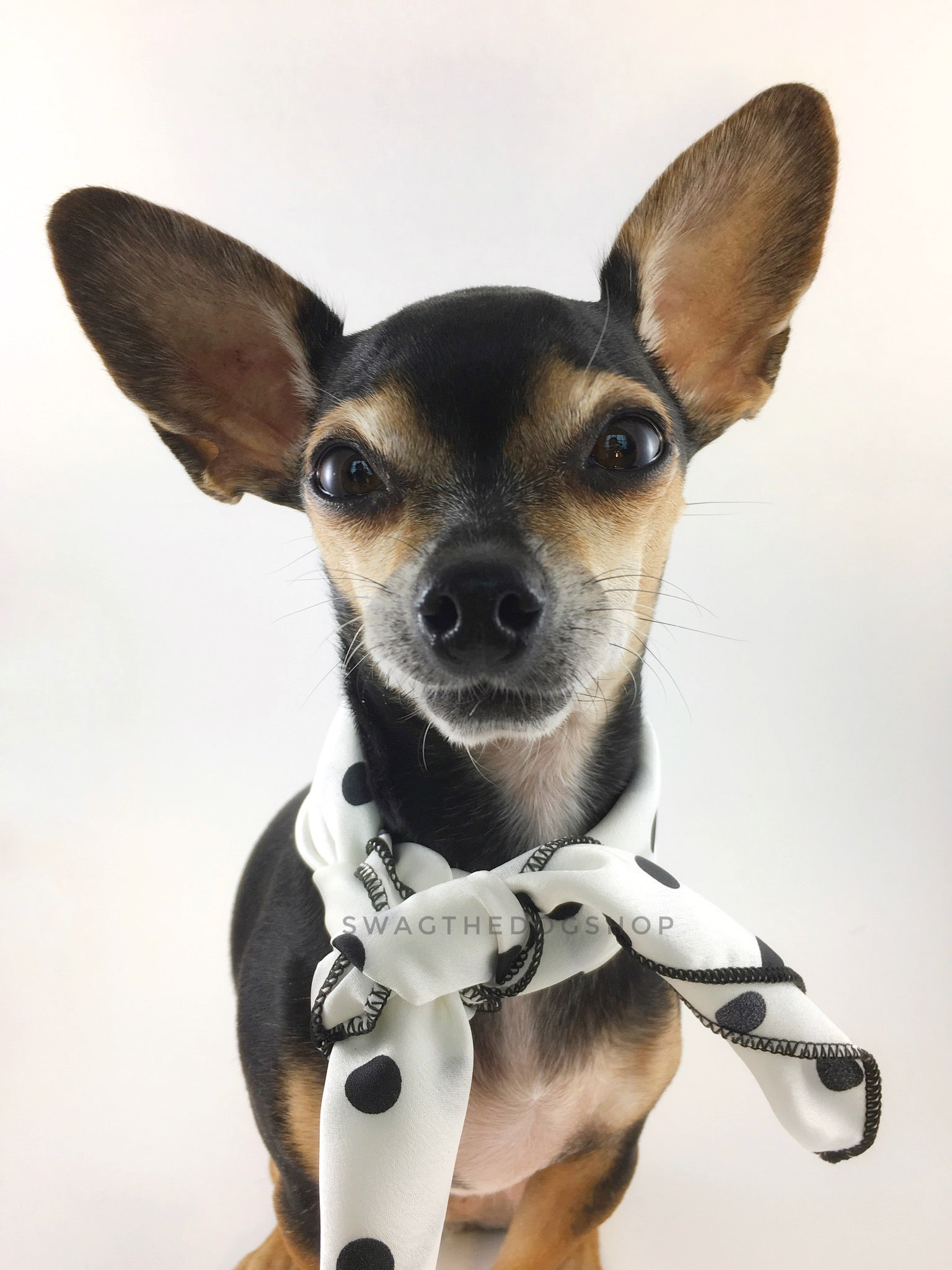 Polka Dot White Swagdana Scarf - Bust of Cute Chihuahua Wearing Swagdana Scarf as Neck Scarf. Dog Bandana. Dog Scarf.