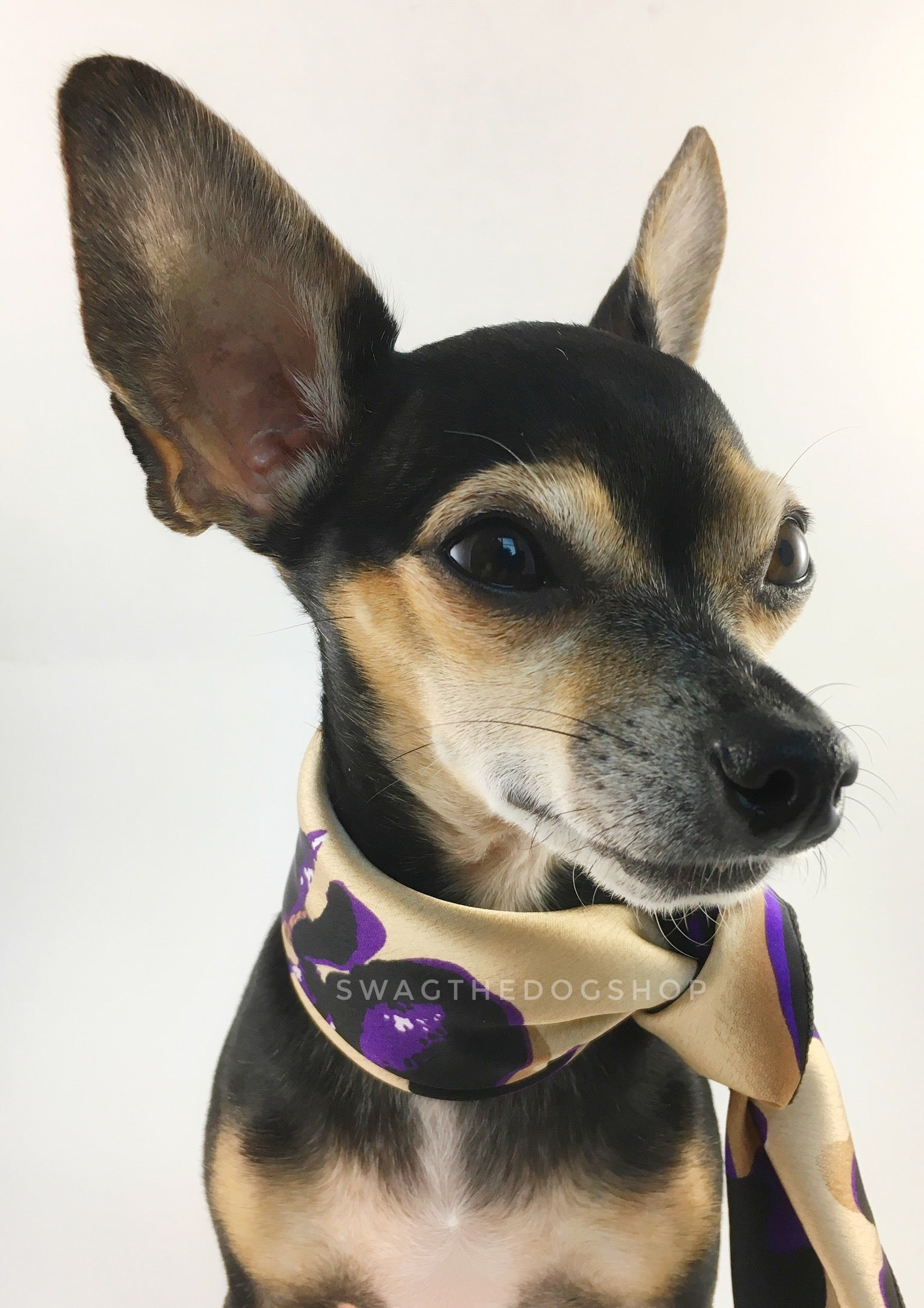 Fierce Beige with Purple Swagdana Scarf - Bust of Cute Chihuahua Wearing Swagdana Scarf as Neckerchief. Dog Bandana. Dog Scarf