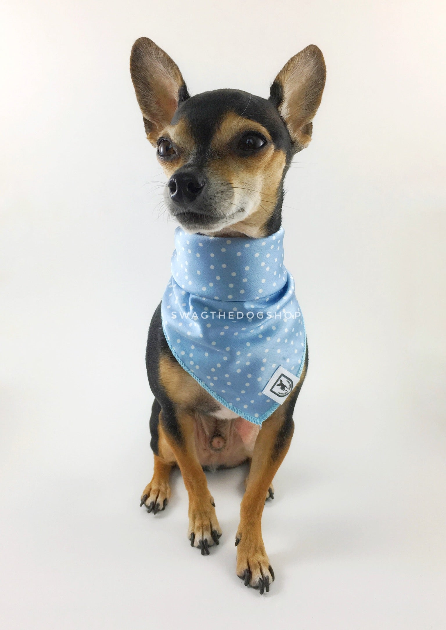 Polka Itty Bitty Powder Blue Swagdana Scarf - Full Frontal View of Cute Chihuahua Wearing Swagdana Scarf as Bandana. Dog Bandana. Dog Scarf.