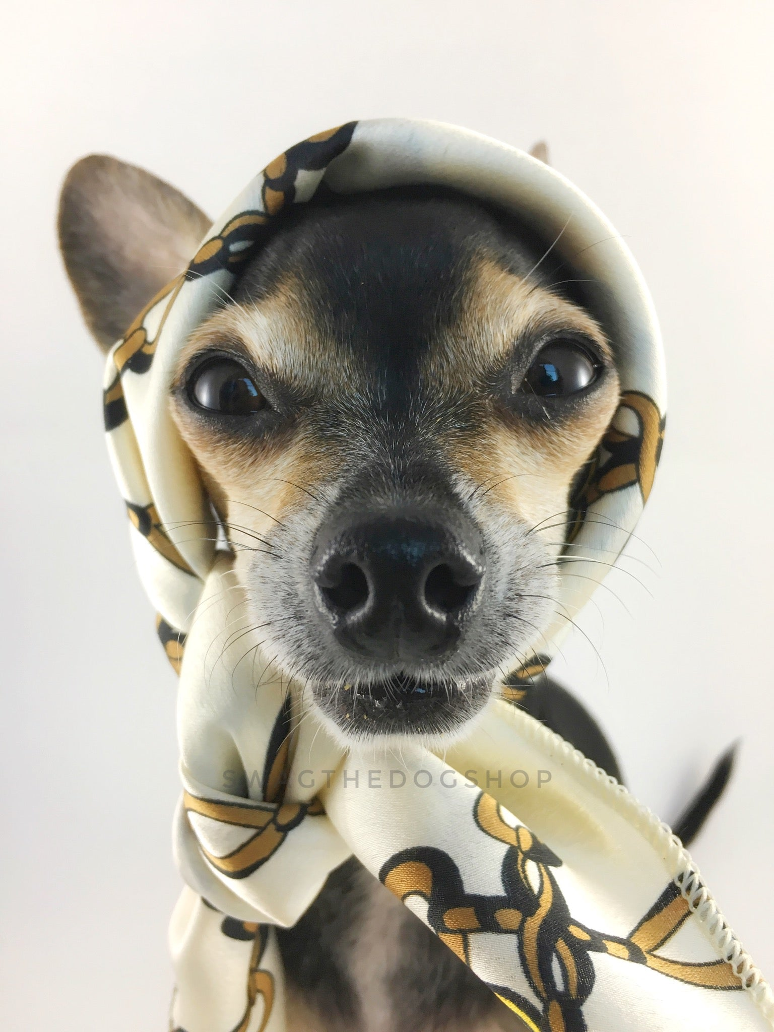 24K Vanilla Gold Swagdana Scarf - Bust of Cute Chihuahua Wearing Swagdana Scarf as Headscarf. Dog Bandana. Dog Scarf