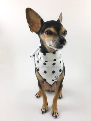 Polka Dot White Swagdana Scarf - Full Frontal View of Cute Chihuahua Wearing Swagdana Scarf as Bandana. Dog Bandana. Dog Scarf.
