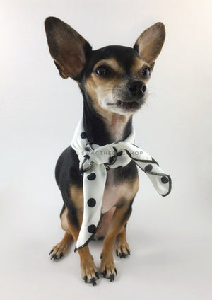 Polka Dot White Swagdana Scarf - Full Frontal View of Cute Chihuahua Wearing Swagdana Scarf as Neck Scarf. Dog Bandana. Dog Scarf.