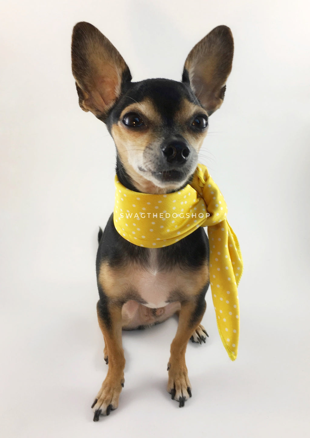 Polka Itty Bitty Sunny Yellow Swagdana Scarf - Full Frontal View of Cute Chihuahua Wearing Swagdana Scarf as Neckerchief. Dog Bandana. Dog Scarf.