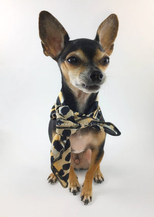 Fierce Beige with Yellow Swagdana Scarf - Full Frontal View of Cute Chihuahua Wearing Swagdana Scarf as Neckerchief Tied At The Front. Dog Bandana. Dog Scarf