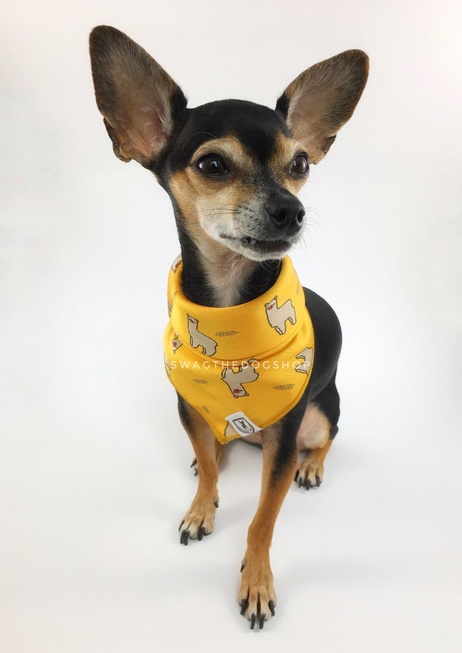Lorenzo Llama Yellow Swagdana Scarf - Full Front View of Cute Chihuahua Wearing Swagdana Scarf as Bandana. Dog Bandana. Dog Scarf.