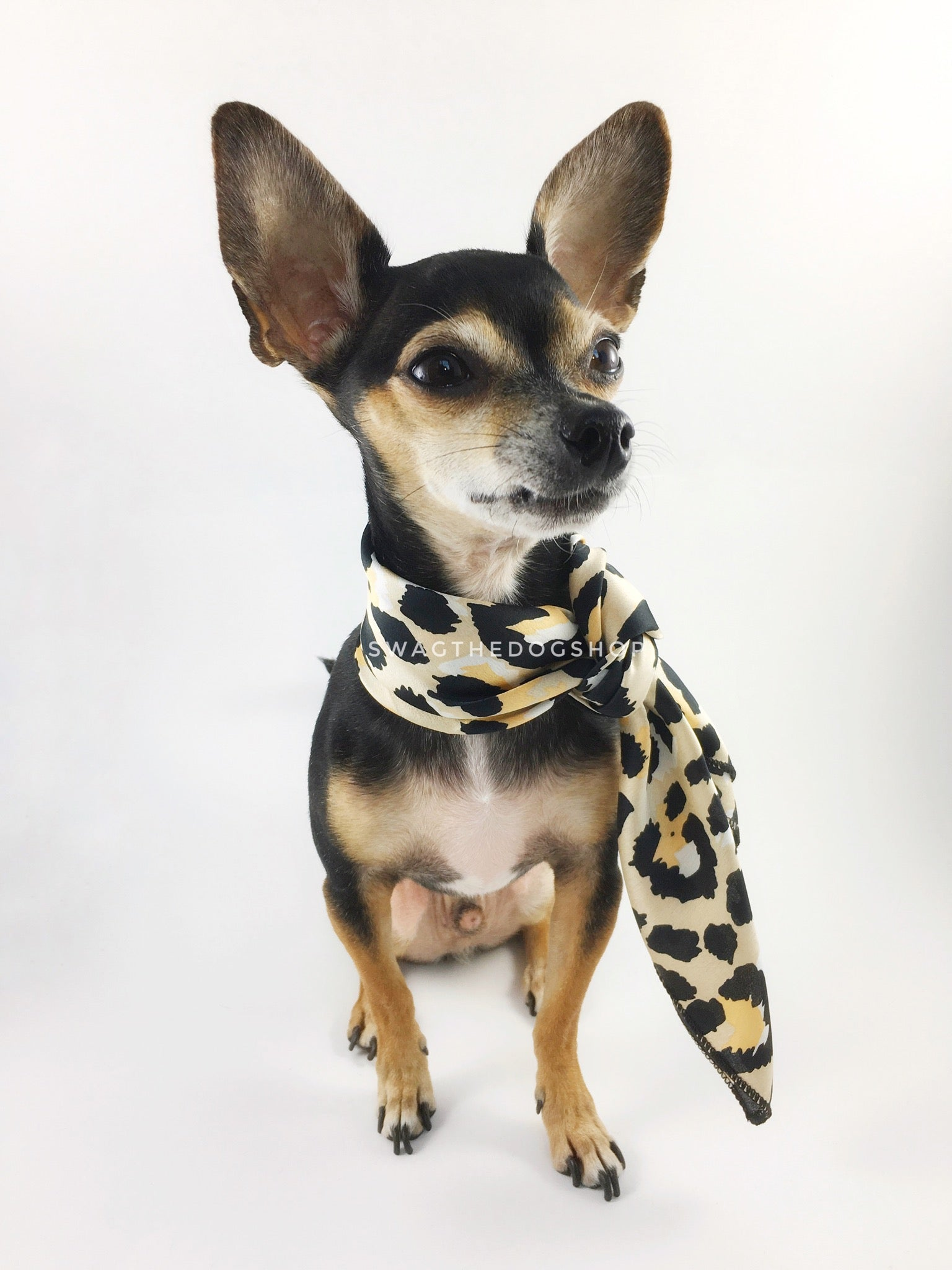 Fierce Beige with Yellow Swagdana Scarf - Full Frontal View of Cute Chihuahua Wearing Swagdana Scarf as Neckerchief. Dog Bandana. Dog Scarf