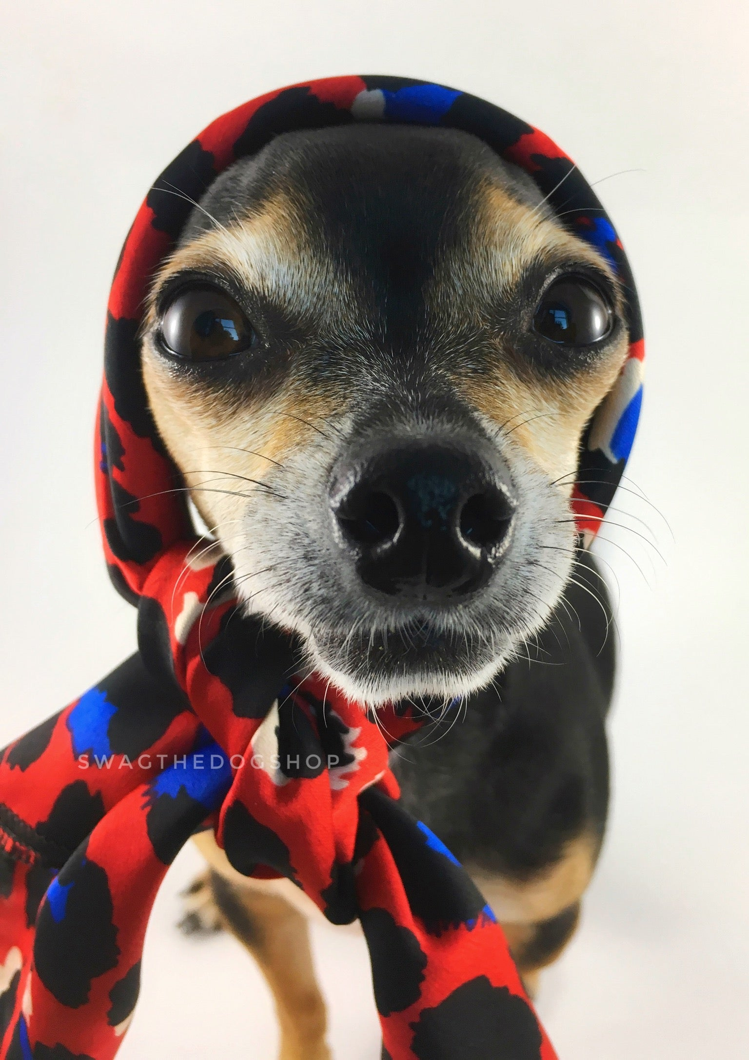 Fierce Vibrant Red with Blue Swagdana Scarf - Bust of Cute Chihuahua Wearing Swagdana Scarf as Headscarf. Dog Bandana. Dog Scarf