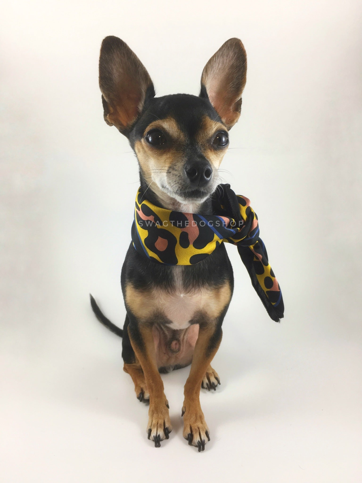 Leopard Sunflower Yellow Swagdana Scarf - Full Front View of Cute Chihuahua Wearing Swagdana Scarf as Neckerchief. Dog Bandana. Dog Scarf.