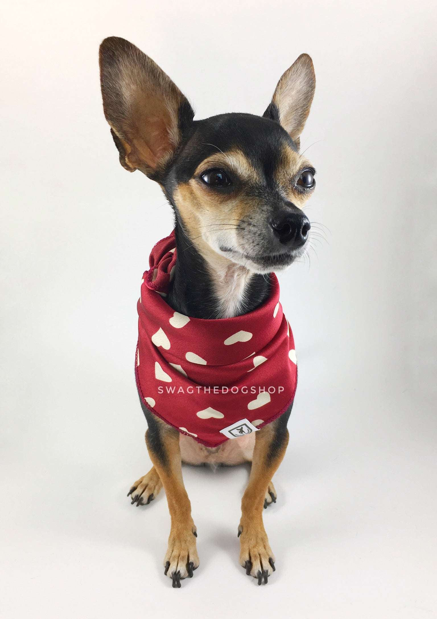 Full of Heart Red Swagdana Scarf - Full Front View of Cute Chihuahua Wearing Swagdana Scarf as Bandana. Dog Bandana. Dog Scarf.