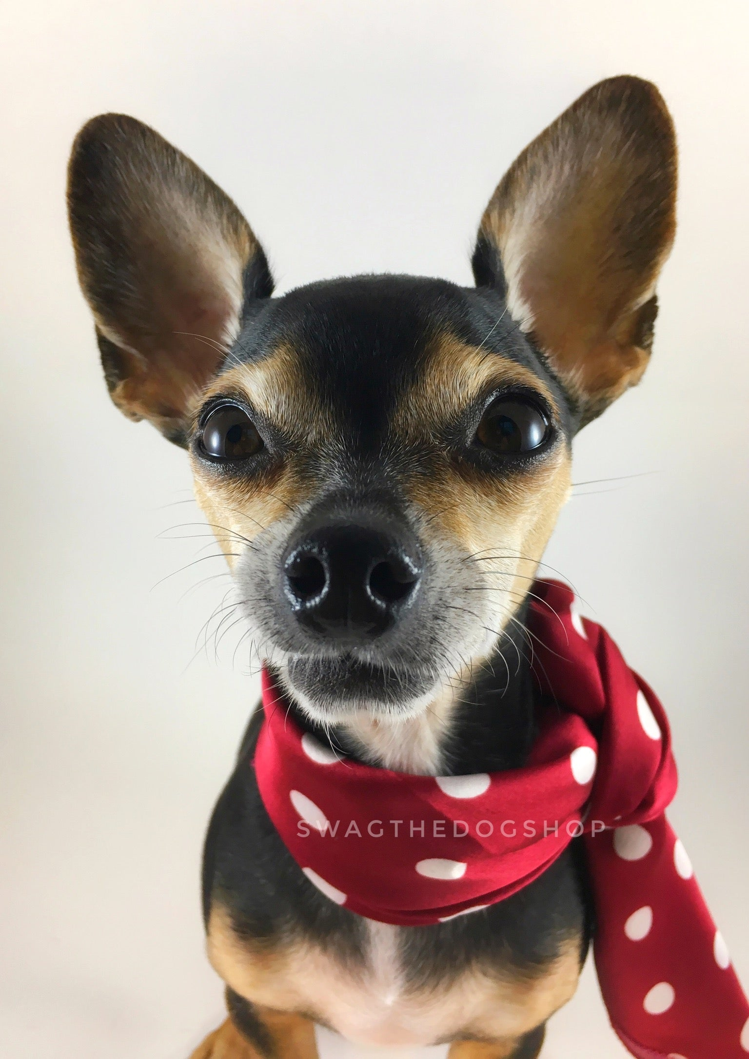 Polka Dot Burgundy Swagdana Scarf - Bust of Cute Chihuahua Wearing Swagdana Scarf as Neckerchief Tied At The Front. Dog Bandana. Dog Scarf.