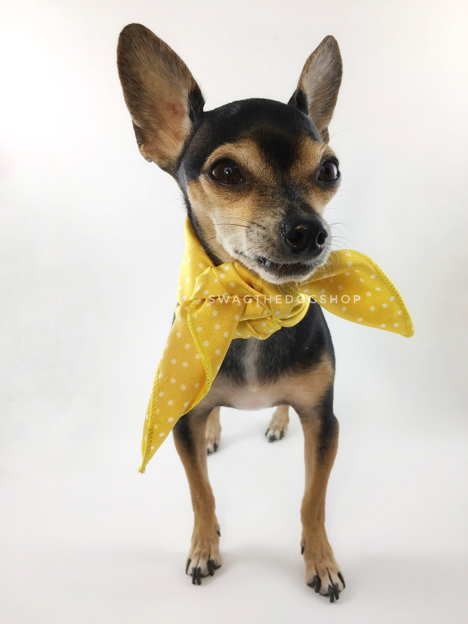 Polka Itty Bitty Sunny Yellow Swagdana Scarf - Full Frontal View of Cute Chihuahua Wearing Swagdana Scarf as Neck Scarf. Dog Bandana. Dog Scarf.