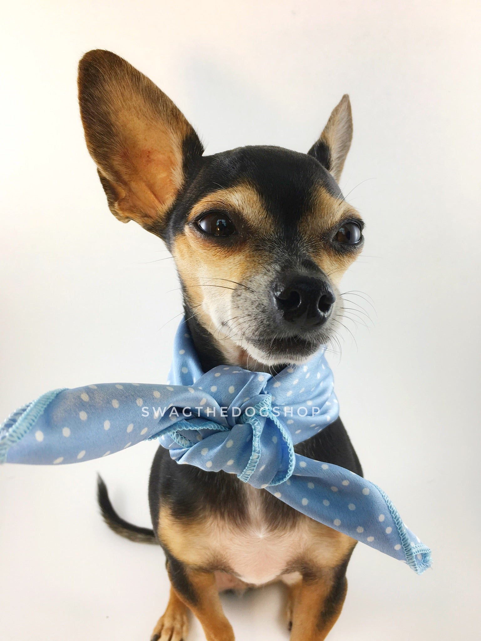 Polka Itty Bitty Powder Blue Swagdana Scarf - Bust of Cute Chihuahua Wearing Swagdana Scarf as Neck Scarf. Dog Bandana. Dog Scarf.