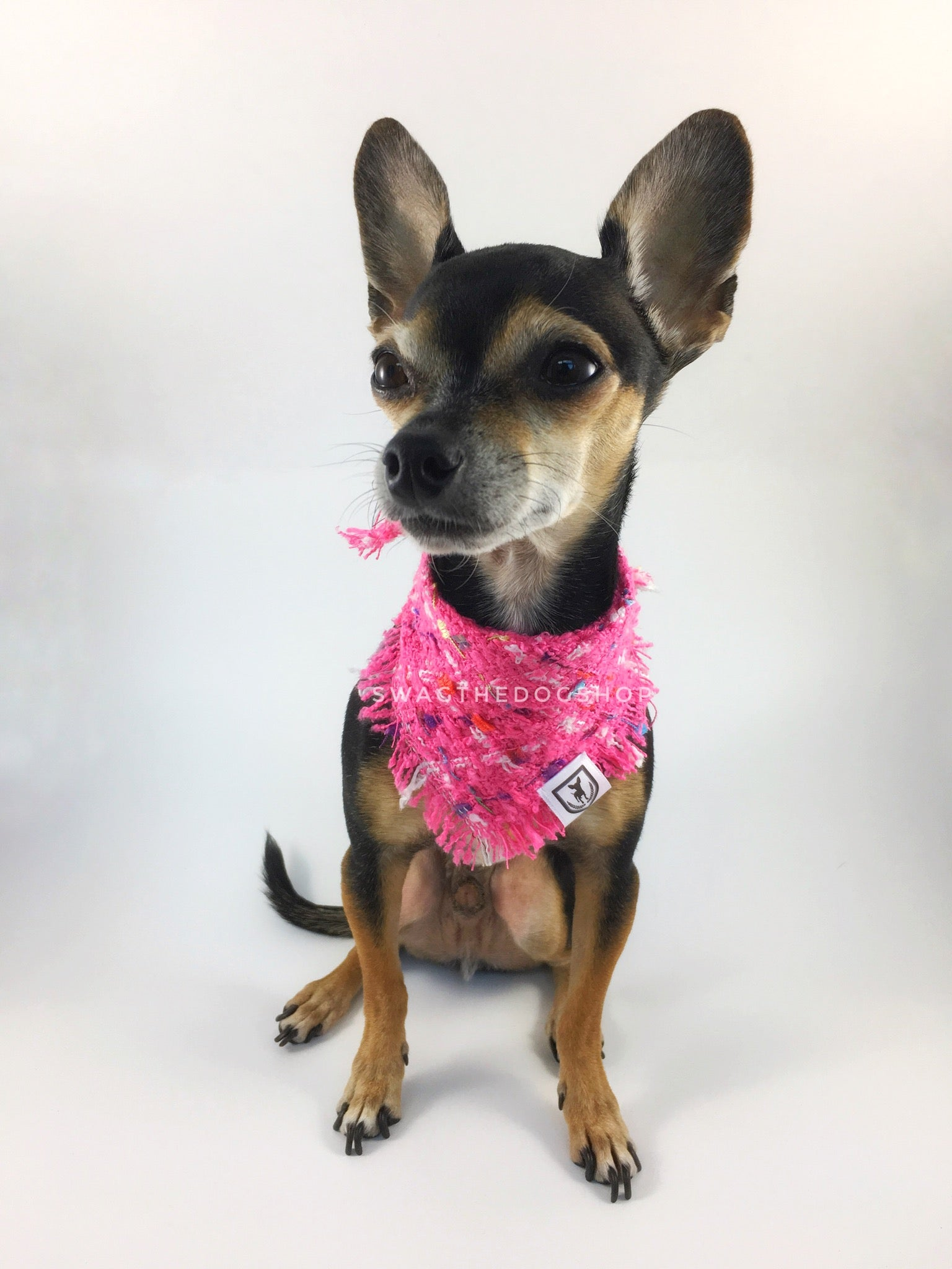 Hot Pink Tweed Swagdana with Frayed Edges - Full Front View of Cute Chihuahua Wearing Swagdana. Dog Bandana. Dog Scarf