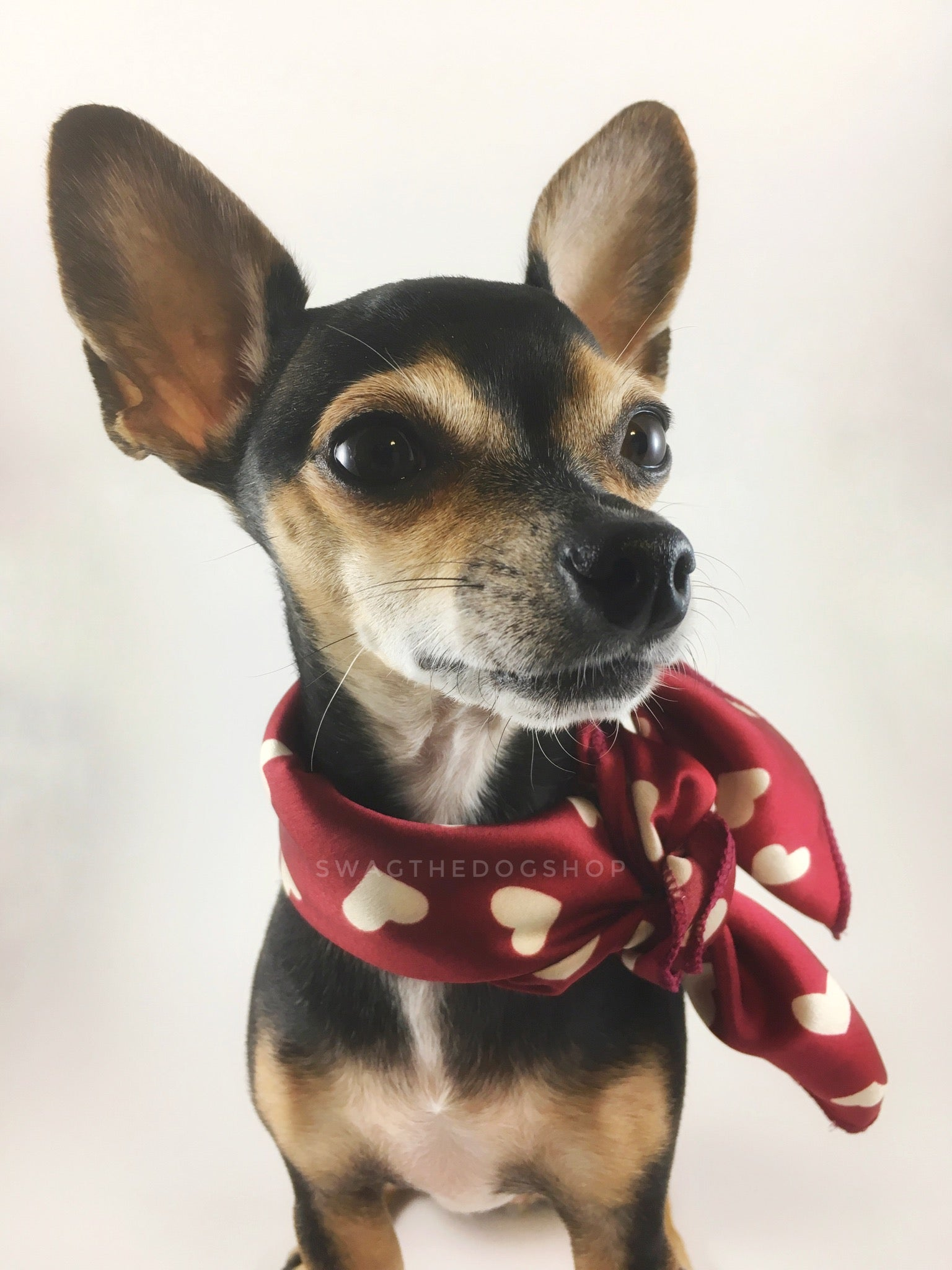 Full of Heart Red Swagdana Scarf - Bust of Cute Chihuahua Wearing Swagdana Scarf as Neckerchief. Dog Bandana. Dog Scarf.