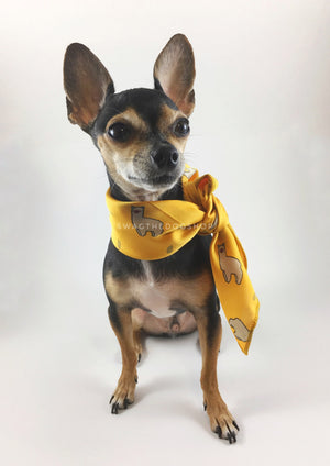 Lorenzo Llama Yellow Swagdana Scarf - Full Front View of Cute Chihuahua Wearing Swagdana Scarf as Neckerchief. Dog Bandana. Dog Scarf.