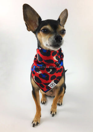 Fierce Vibrant Red with Blue Swagdana Scarf - Full Frontal View of Cute Chihuahua Wearing Swagdana Scarf as Bandana. Dog Bandana. Dog Scarf