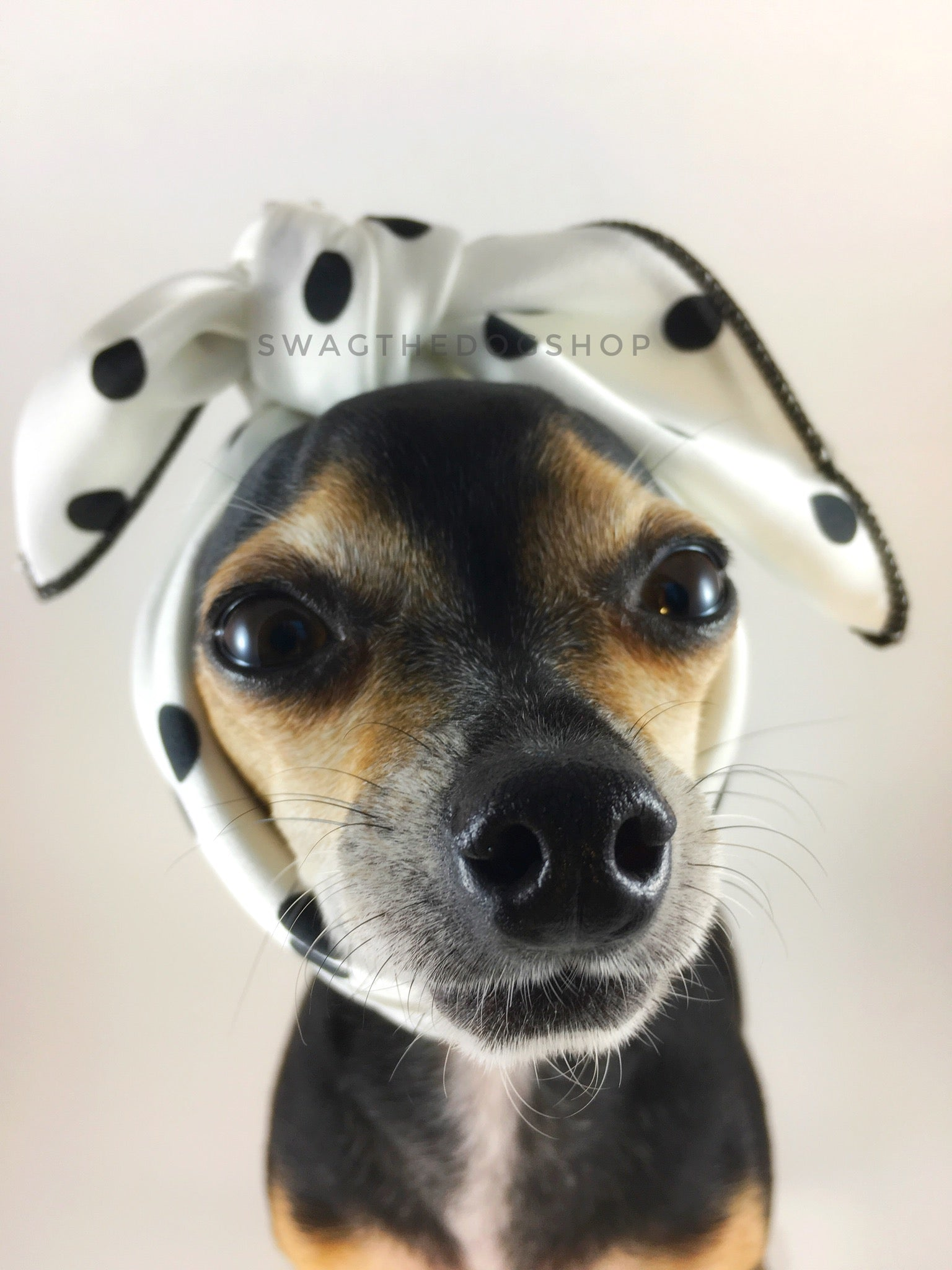 Polka Dot White Swagdana Scarf - Bust of Cute Chihuahua Wearing Swagdana Scarf as Headband. Dog Bandana. Dog Scarf.