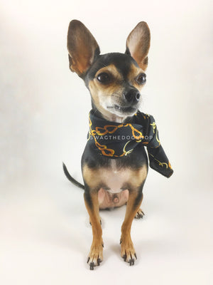 24K Black Gold Swagdana Scarf - Full Front View of Cute Chihuahua Wearing Swagdana Scarf as Neckerchief. Dog Bandana. Dog Scarf