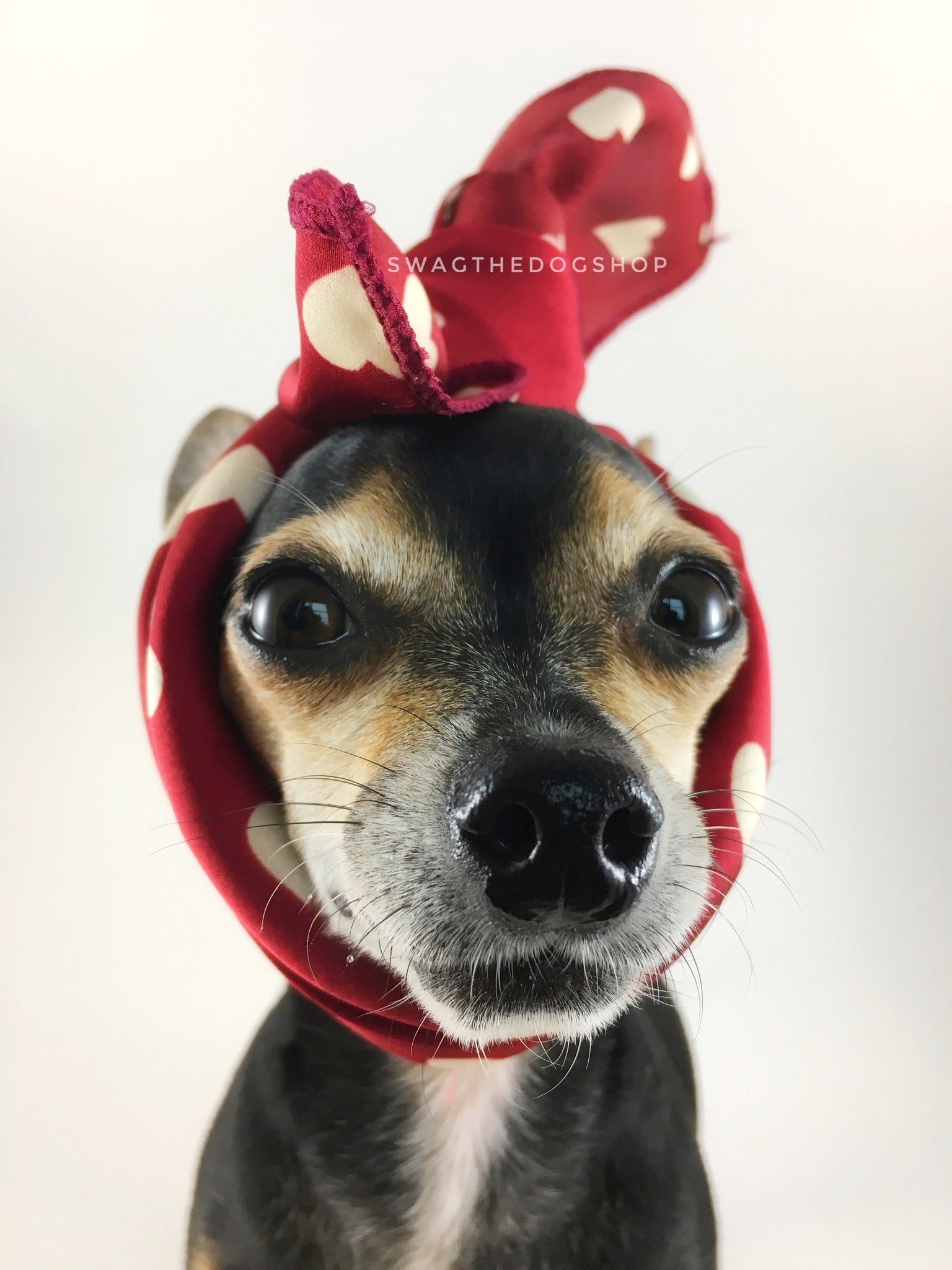 Full of Heart Red Swagdana Scarf - Bust of Cute Chihuahua Wearing Swagdana Scarf as Headband. Dog Bandana. Dog Scarf.