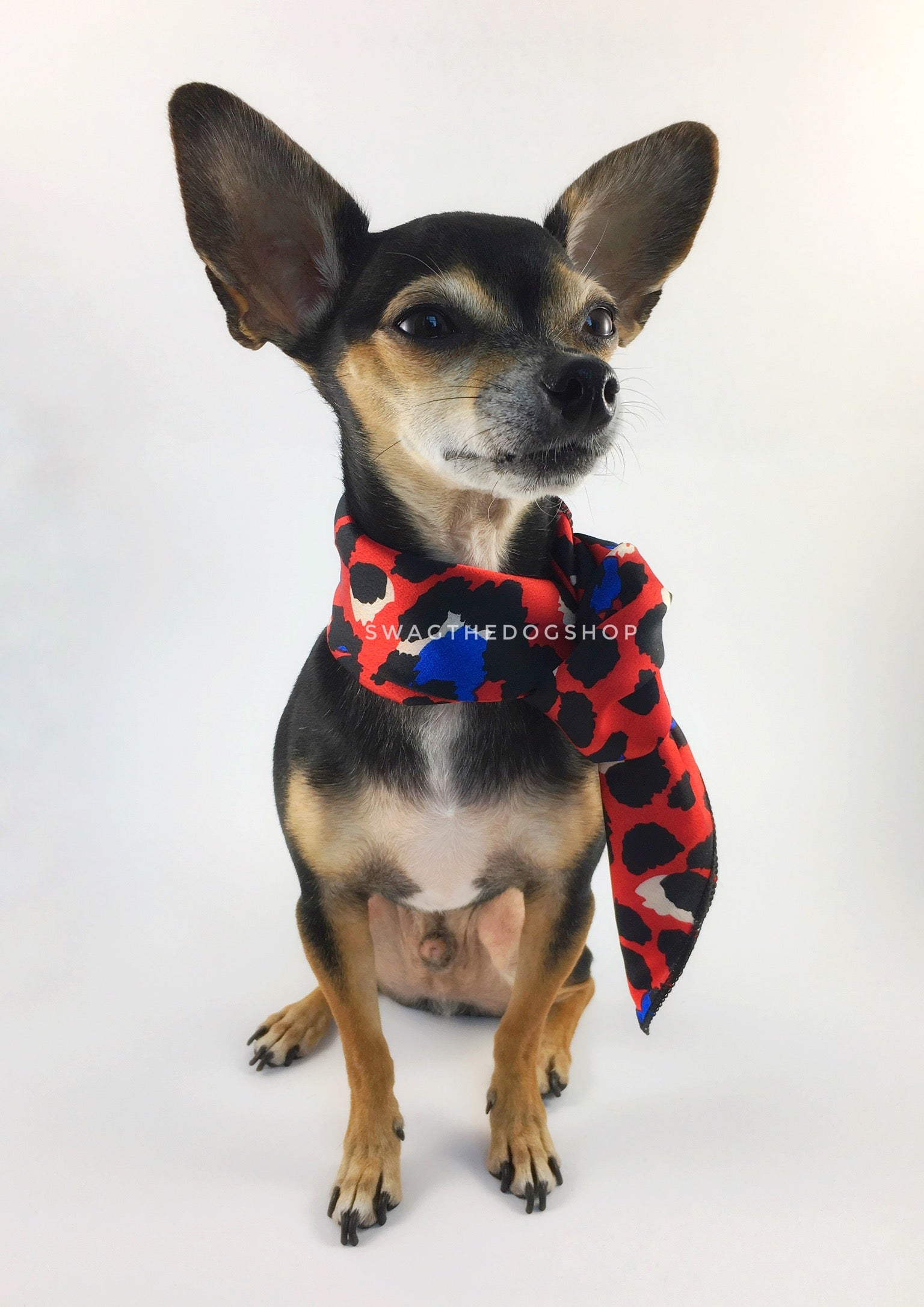 Fierce Vibrant Red with Blue Swagdana Scarf - Full Frontal View of Cute Chihuahua Wearing Swagdana Scarf as Neckerchief. Dog Bandana. Dog Scarf