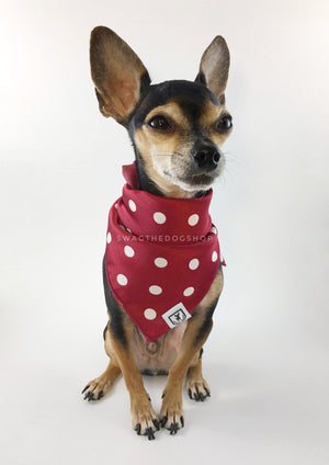 Polka Dot Burgundy Swagdana Scarf - Full Frontal View of Cute Chihuahua Wearing Swagdana Scarf as Bandana. Dog Bandana. Dog Scarf.
