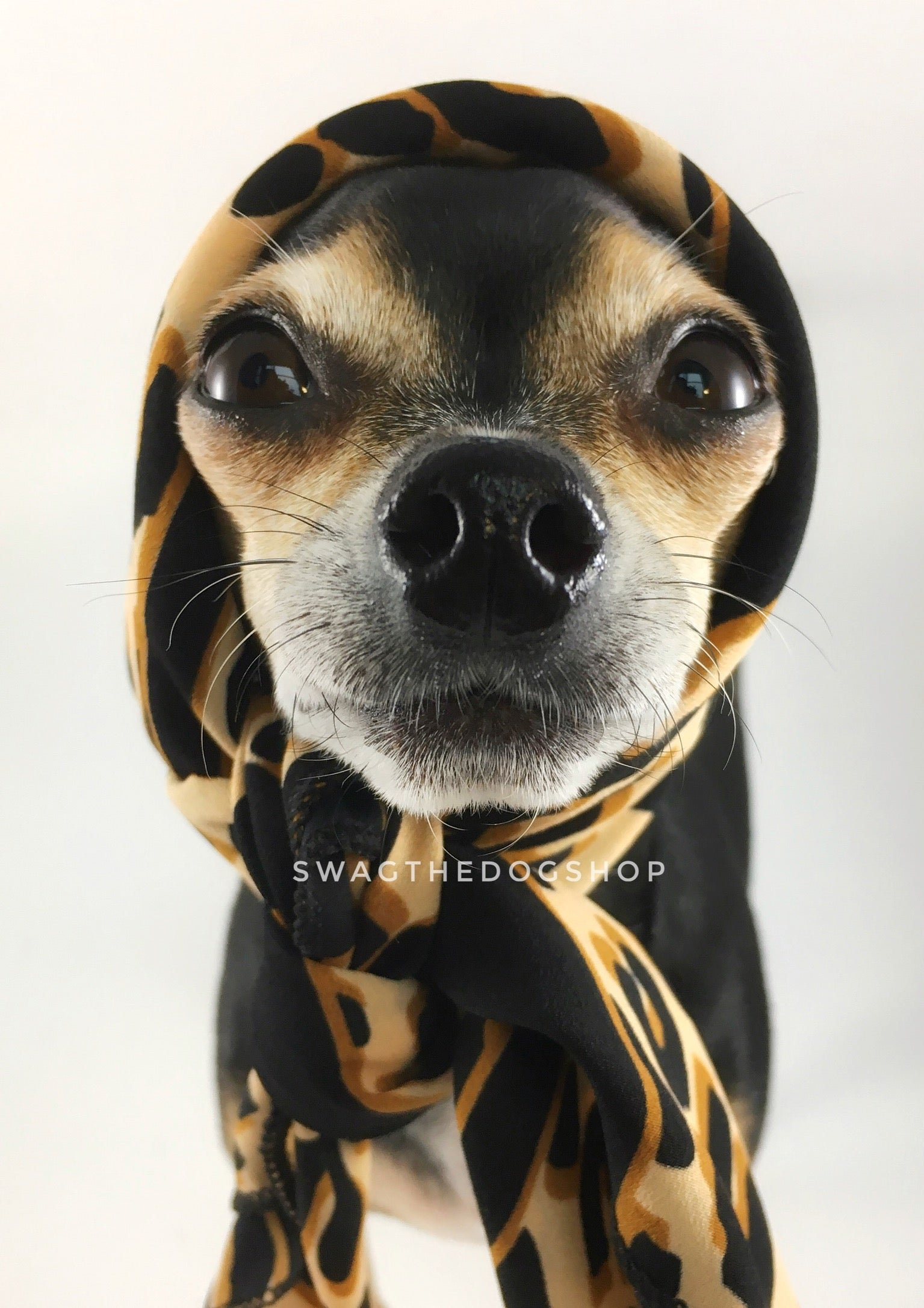 Leopard Ivory Cream Swagdana Scarf - Bust of Cute Chihuahua Wearing Swagdana Scarf as Headscarf. Dog Bandana. Dog Scarf.