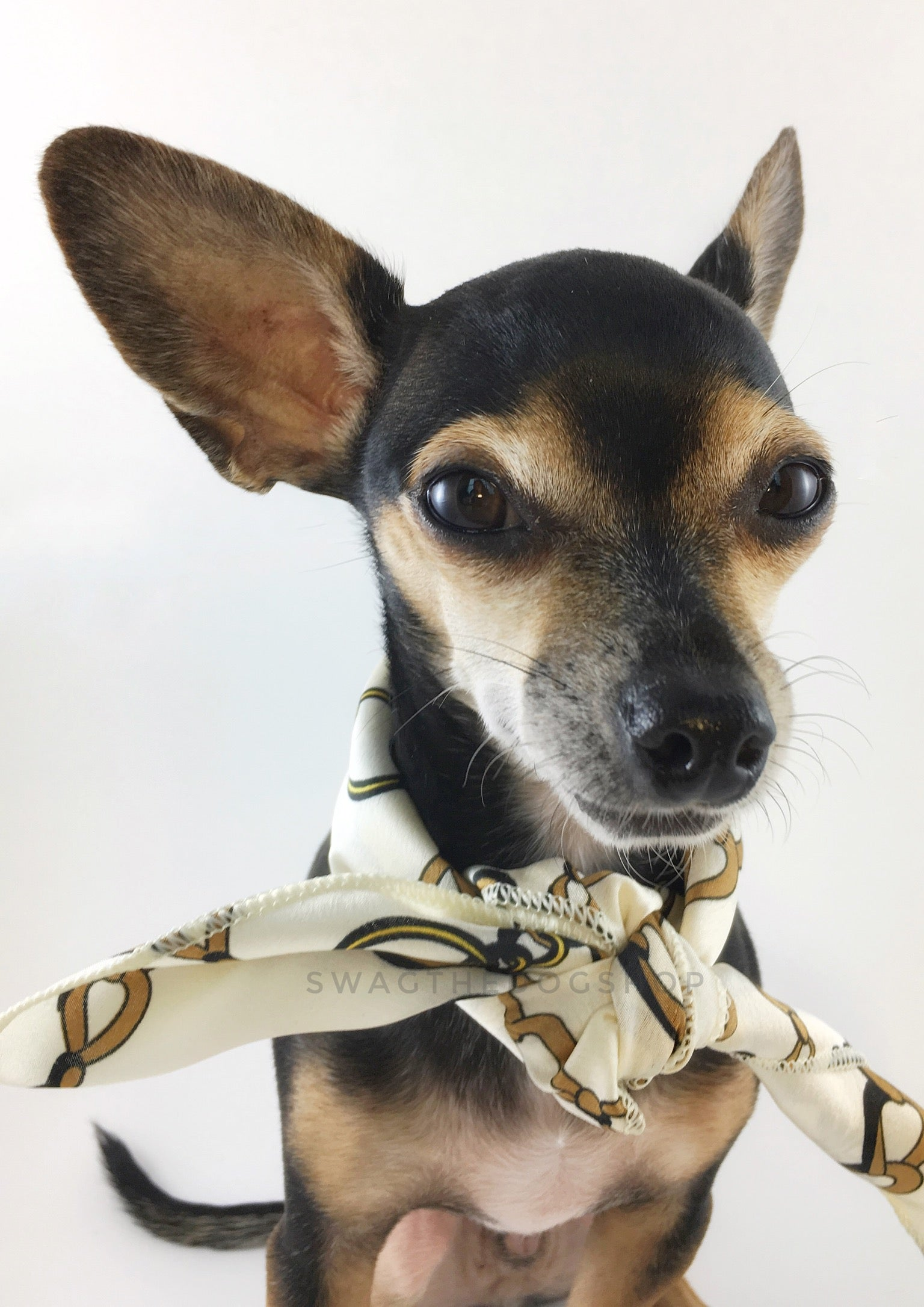 24K Vanilla Gold Swagdana Scarf - Bust of Cute Chihuahua Wearing Swagdana Scarf as Neck Scarf. Dog Bandana. Dog Scarf