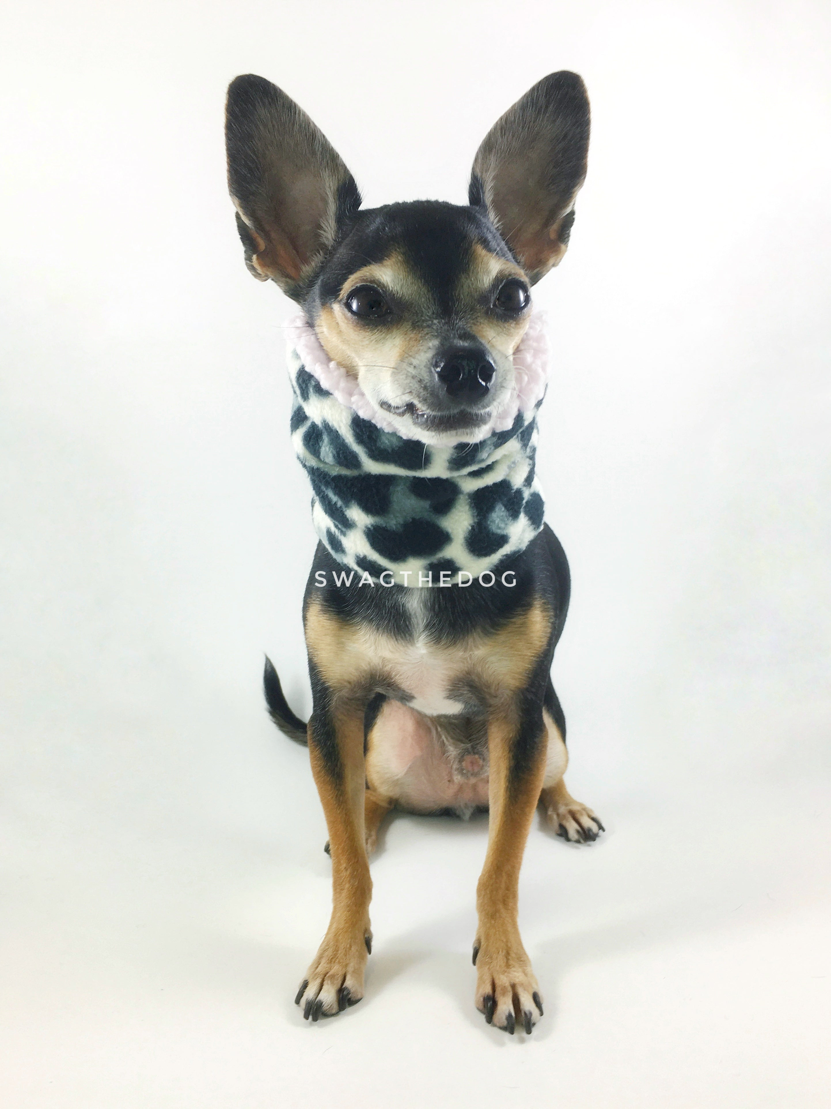 Gray Snow Leopard Swagsnood - Full Front View of Hugo sitting, Cute Chihuahua Dog Wearing Gray Snow Leopard Print Fleece Dog Snood and pink sherpa peeking out