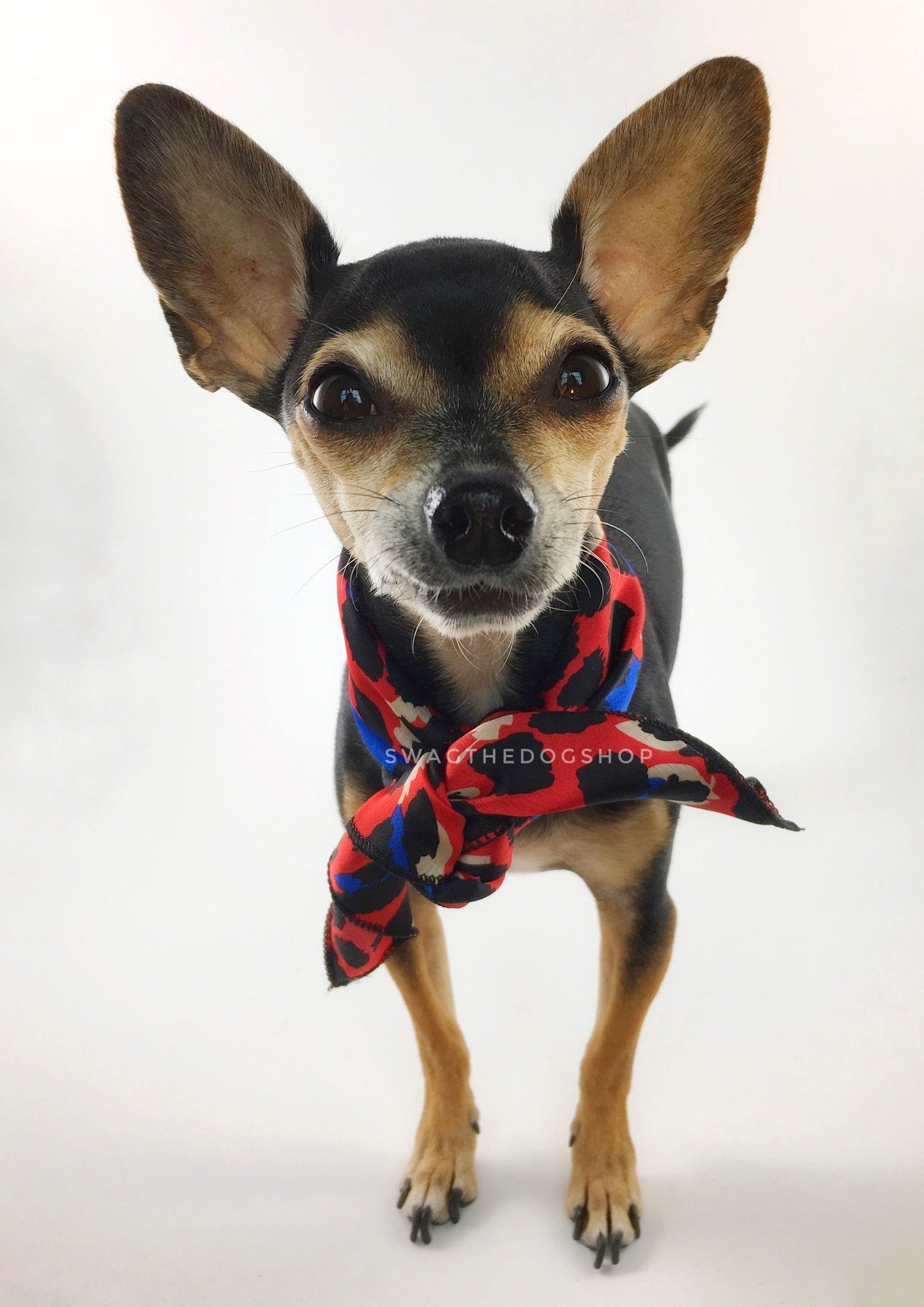 Fierce Vibrant Red with Blue Swagdana Scarf - Full Frontal View of Cute Chihuahua Wearing Swagdana Scarf as Neck Scarf. Dog Bandana. Dog Scarf