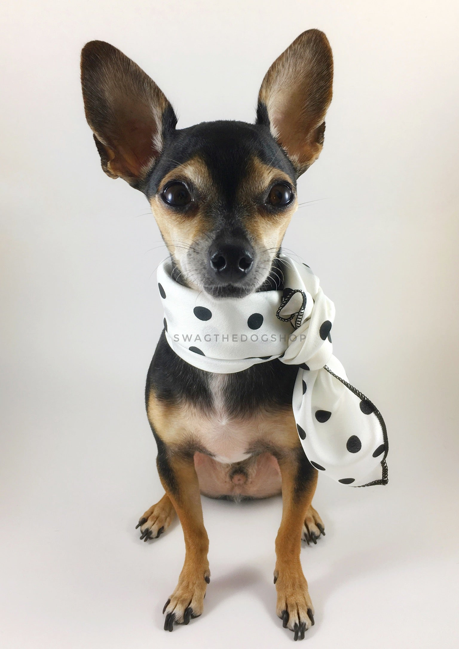 Polka Dot White Swagdana Scarf - Full Frontal View of Cute Chihuahua Wearing Swagdana Scarf as Neckerchief. Dog Bandana. Dog Scarf.