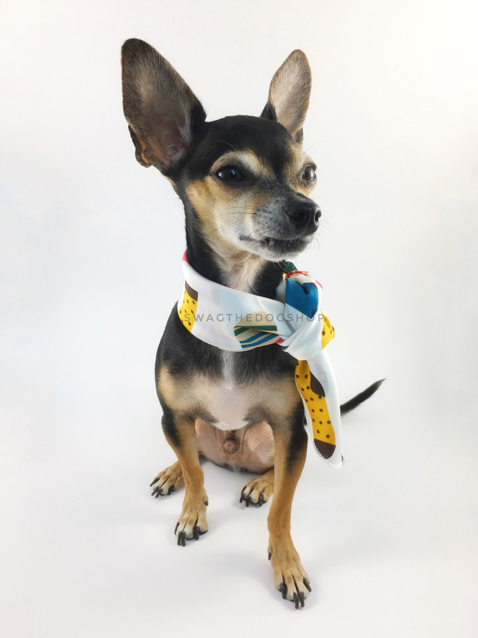 Rock Your Socks Swagdana Scarf - Full Frontal View of Cute Chihuahua Wearing Swagdana Scarf as Neckerchief. Dog Bandana. Dog Scarf.