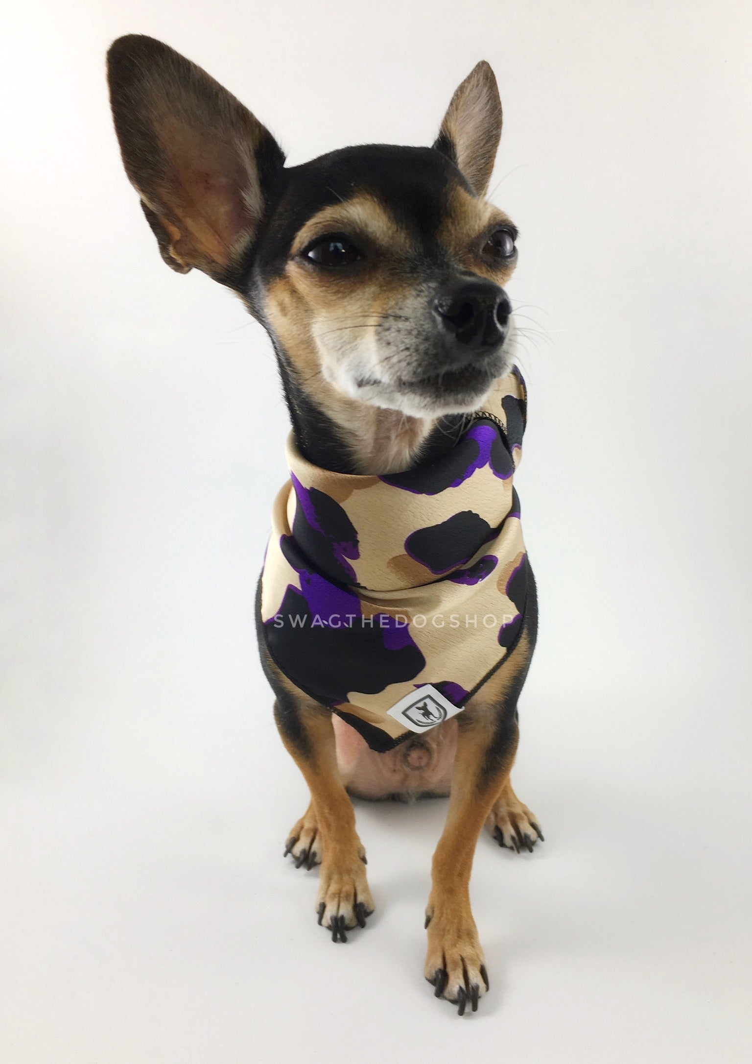 Fierce Beige with Purple Swagdana Scarf - Full Frontal View of Cute Chihuahua Wearing Swagdana Scarf as Bandana. Dog Bandana. Dog Scarf