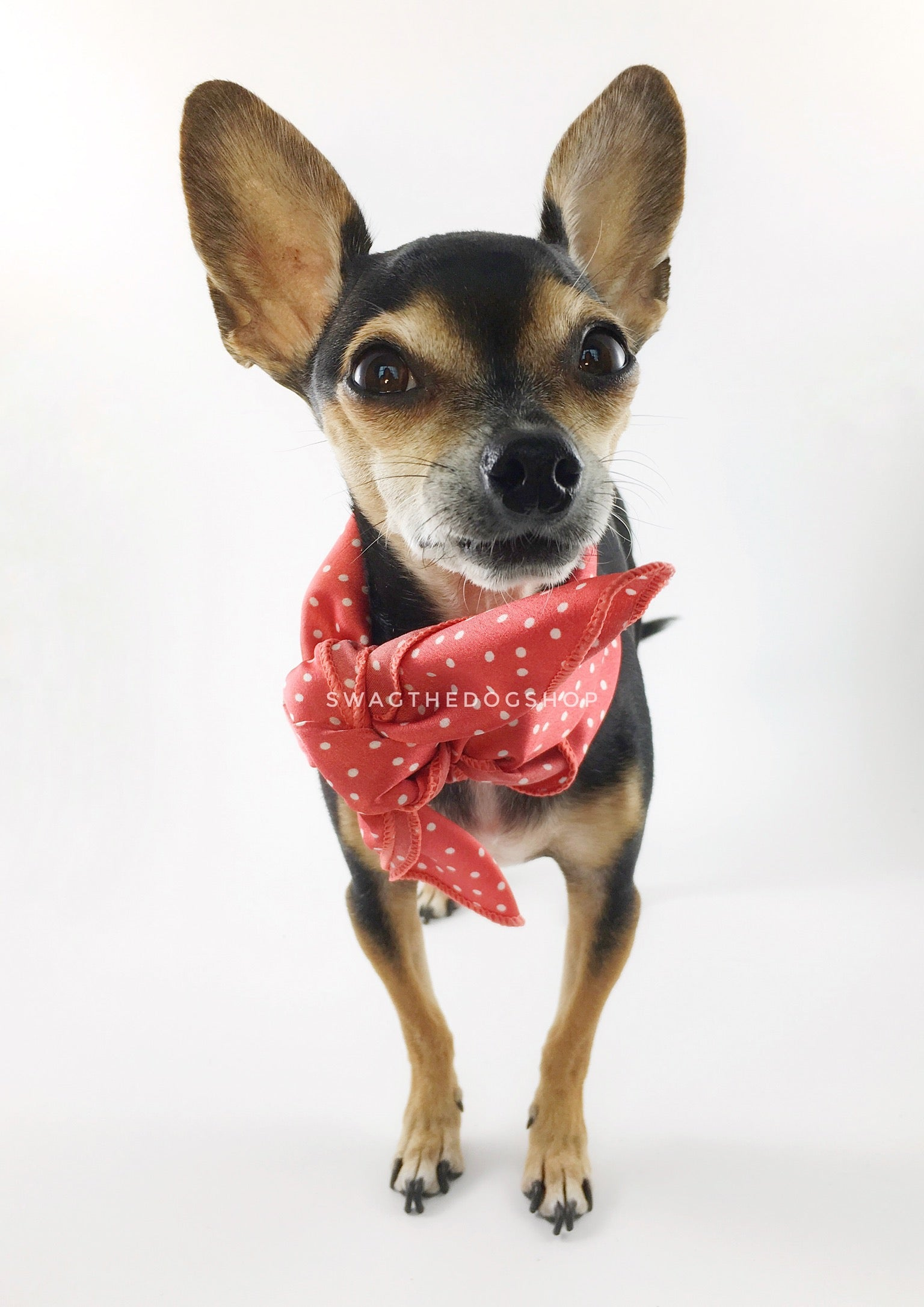 Polka Itty Bitty Coral Swagdana Scarf - Full Frontal View of Cute Chihuahua Wearing Swagdana Scarf as Neck Scarf. Dog Bandana. Dog Scarf.