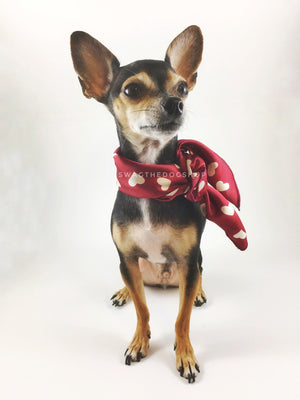 Full of Heart Red Swagdana Scarf - Full Front View of Cute Chihuahua Wearing Swagdana Scarf as Neckerchief. Dog Bandana. Dog Scarf.