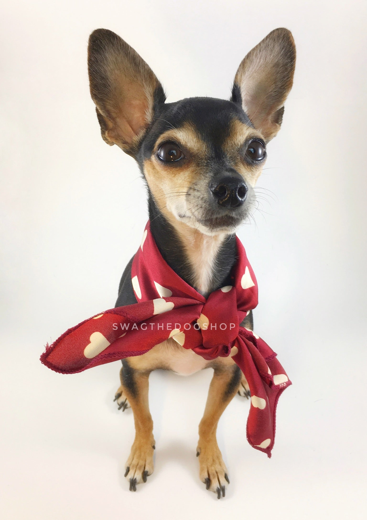 Full of Heart Red Swagdana Scarf - Full Front View of Cute Chihuahua Wearing Swagdana Scarf as Neck Scarf. Dog Bandana. Dog Scarf.