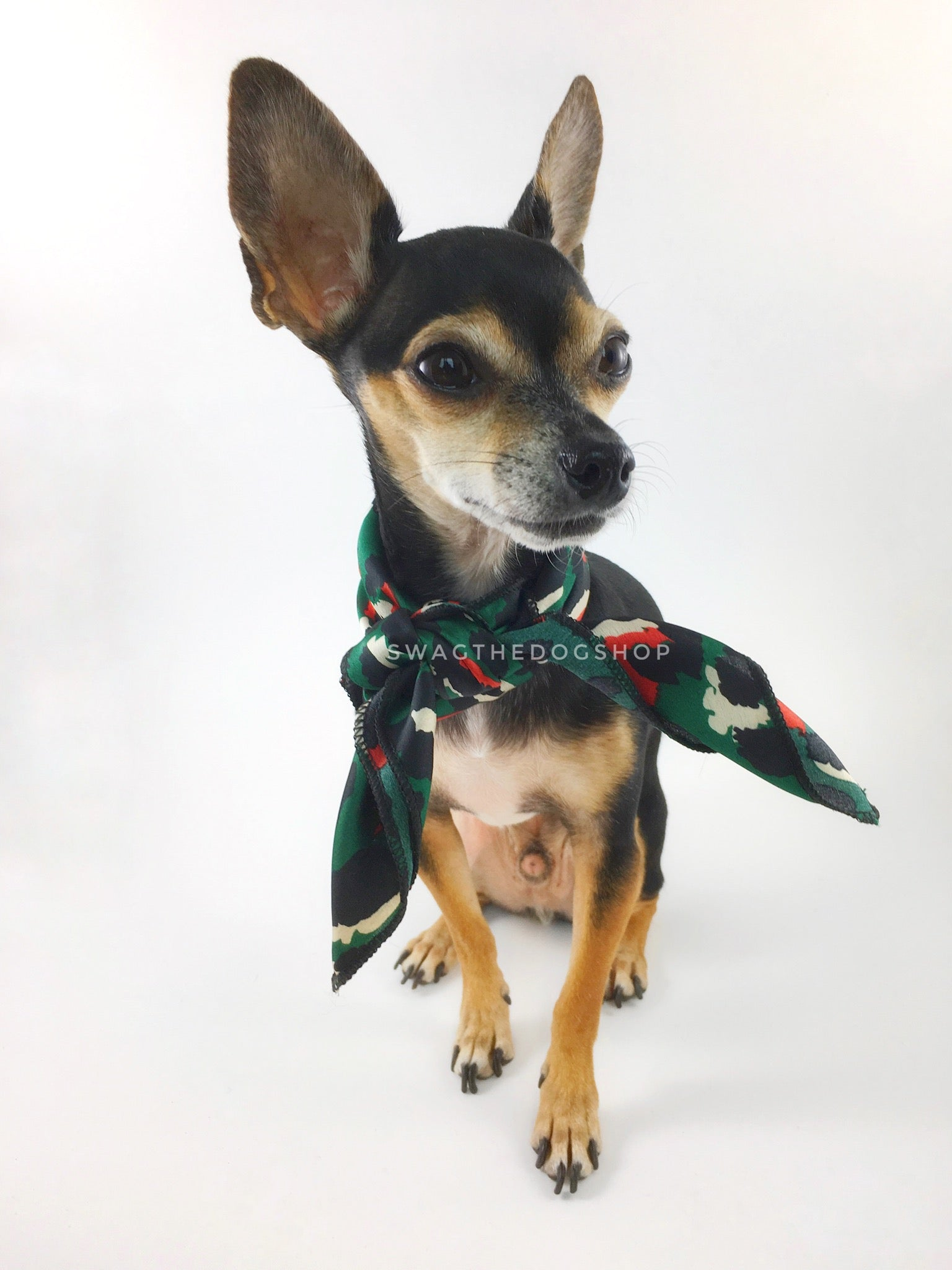 Fierce Forest Green with Red Swagdana Scarf - Full Frontal View of Cute Chihuahua Wearing Swagdana Scarf as Neck Scarf. Dog Bandana. Dog Scarf