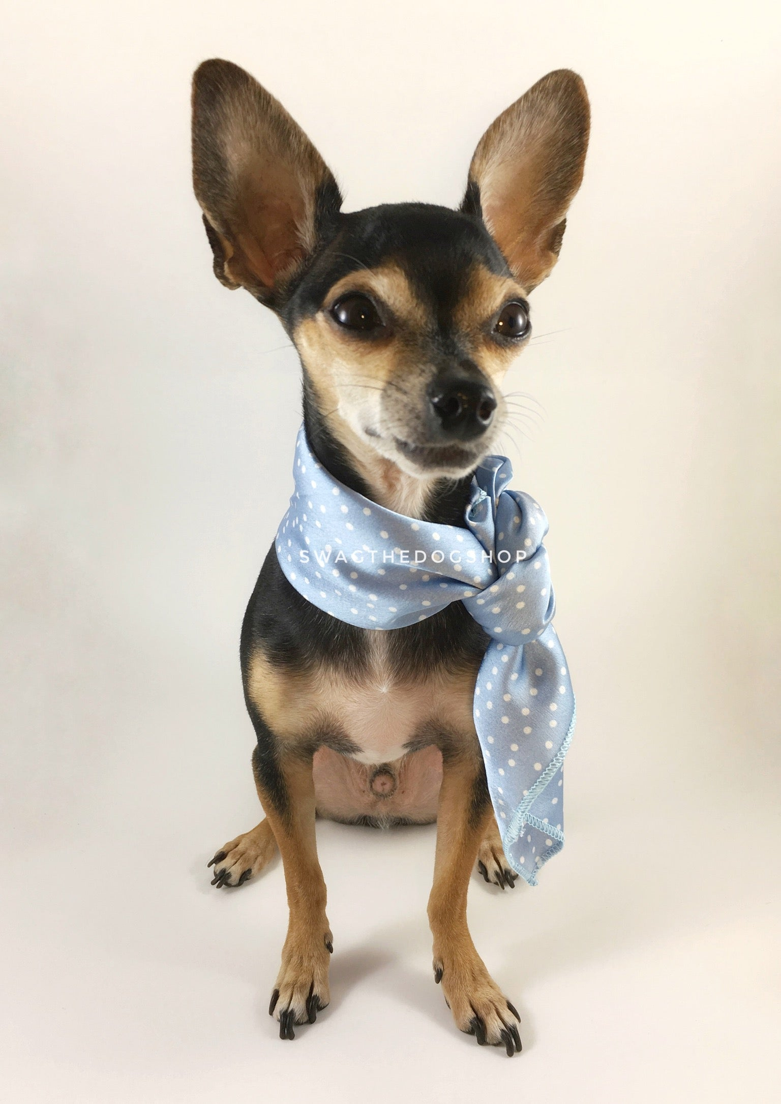 Polka Itty Bitty Powder Blue Swagdana Scarf - Full Frontal View of Cute Chihuahua Wearing Swagdana Scarf as Neckerchief. Dog Bandana. Dog Scarf.
