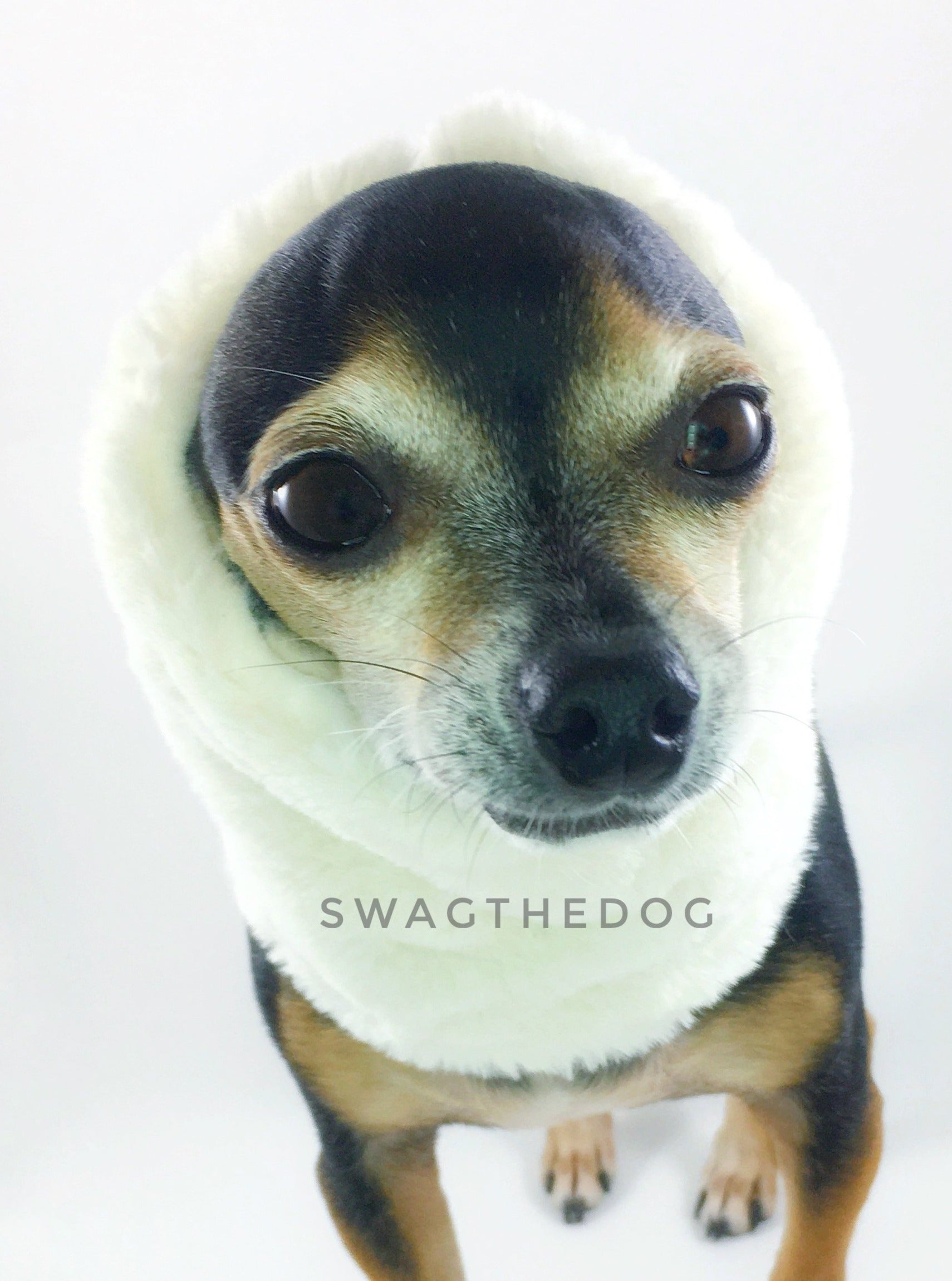 Furberry Swagsnood - Close-up face view of Hugo, Cute Chihuahua Dog wearing cream faux fur side