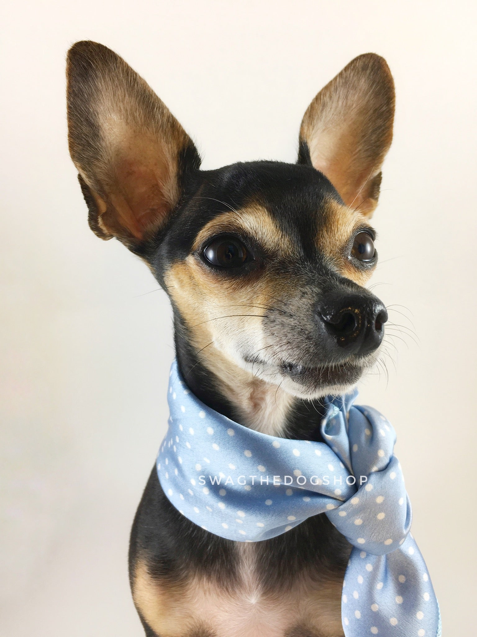 Polka Itty Bitty Powder Blue Swagdana Scarf - Bust of Cute Chihuahua Wearing Swagdana Scarf as Neckerchief. Dog Bandana. Dog Scarf.
