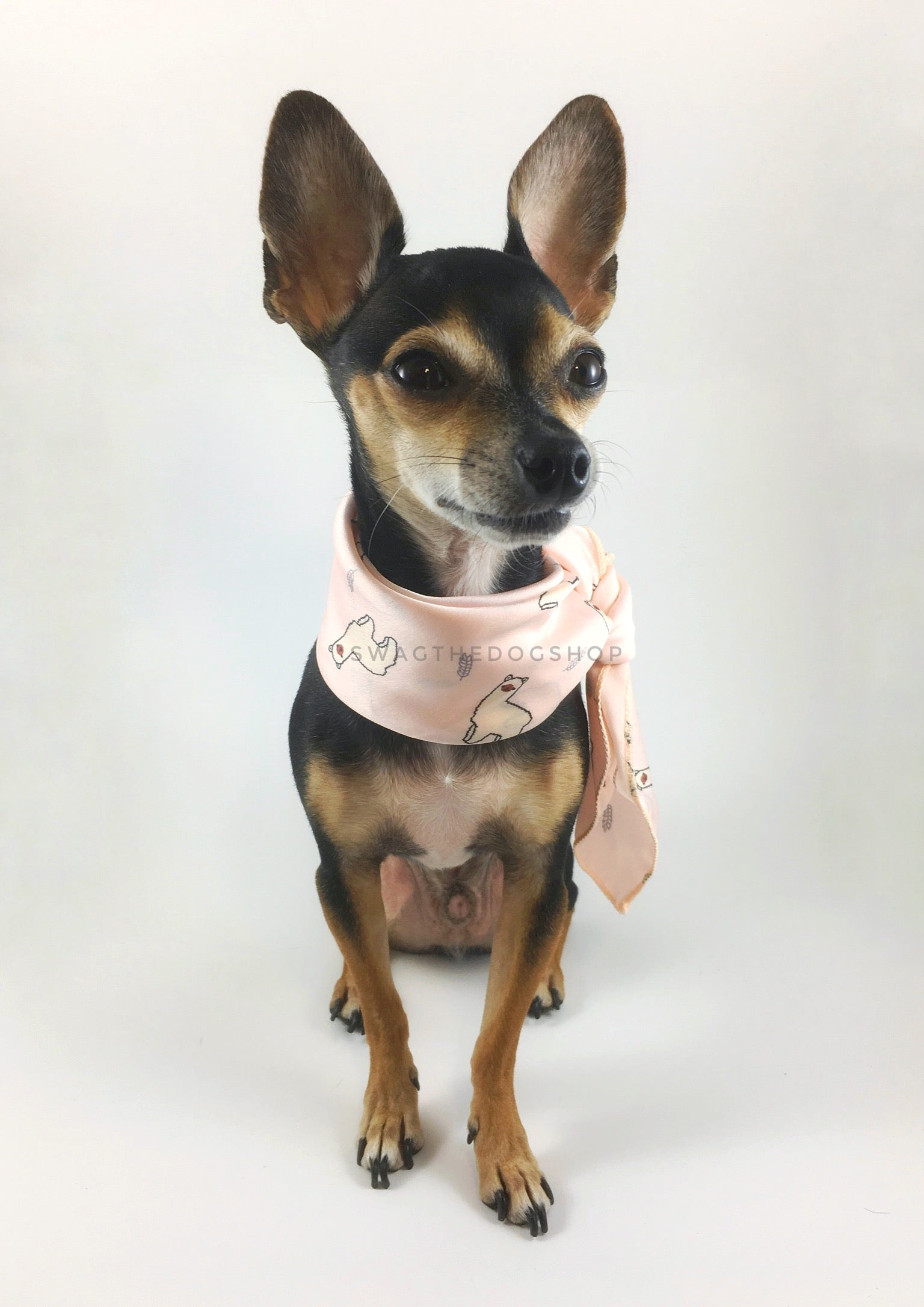 Lorenzo Llama Soft Pink Swagdana Scarf - Full Front View of Cute Chihuahua Wearing Swagdana Scarf as Neckerchief. Dog Bandana. Dog Scarf.