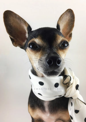 Polka Dot White Swagdana Scarf - Bust of Cute Chihuahua Wearing Swagdana Scarf as Neckerchief. Dog Bandana. Dog Scarf.