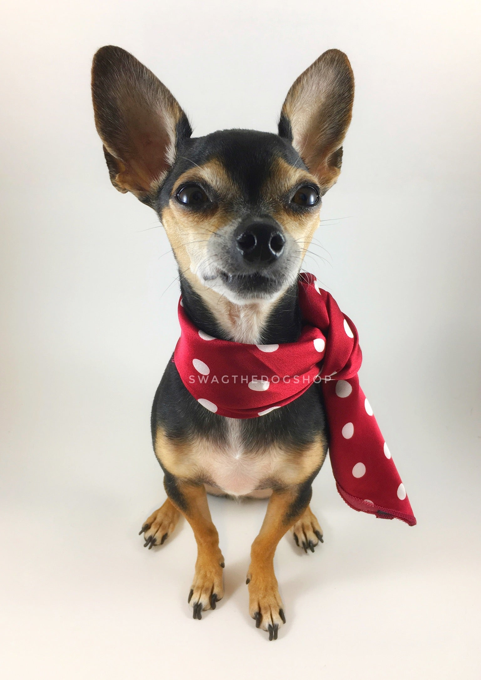 Polka Dot Burgundy Swagdana Scarf - Full Frontal View of Cute Chihuahua Wearing Swagdana Scarf as Neckerchief. Dog Bandana. Dog Scarf.