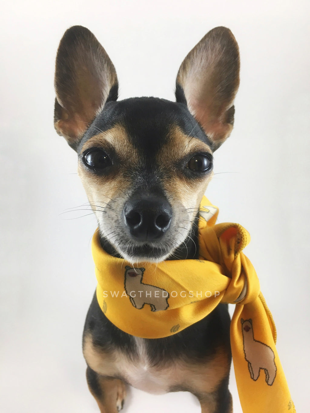 Lorenzo Llama Yellow Swagdana Scarf - Bust of Cute Chihuahua Wearing Swagdana Scarf as Neckerchief. Dog Bandana. Dog Scarf.