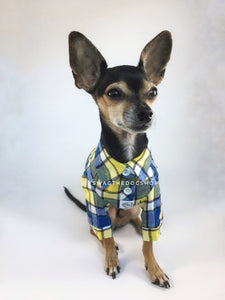 Royal Yellow Plaid Shirt - Full Front View of Cute Chihuahua Dog Wearing Shirt. Royal Blue and Yellow Plaid Shirt
