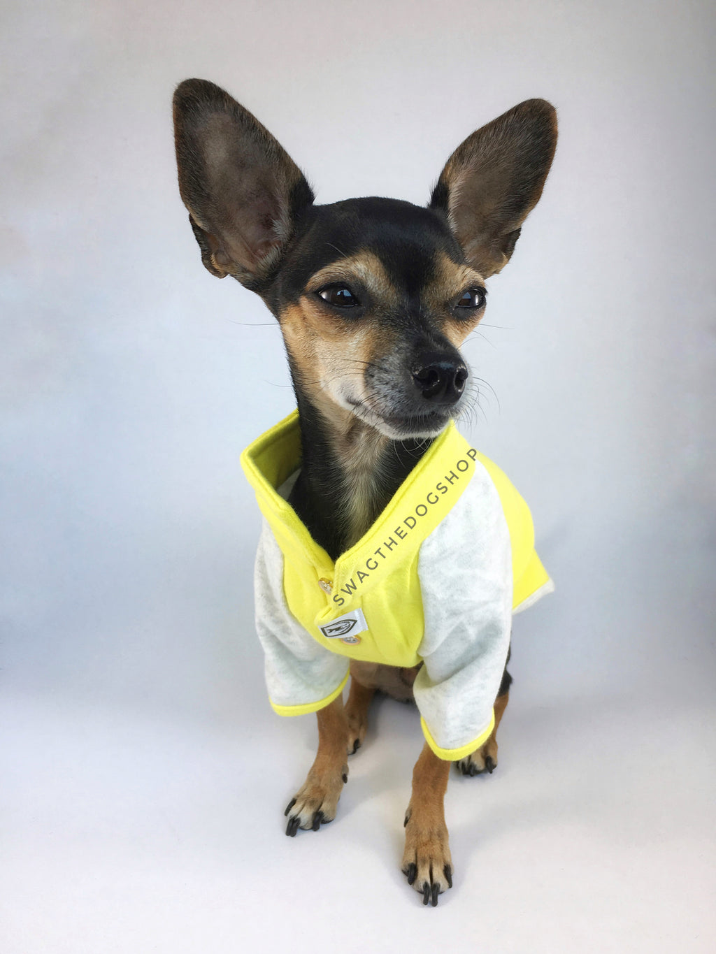 Surfside Lemon Yellow Polo Shirt - Full Front View of Cute Chihuahua Dog Wearing Shirt. Lemon Yellow with Light Gray Sleeves Polo Shirt