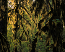 Load image into Gallery viewer, Moss cloaked forest at sunset, Haida Gwaii (Naikook Provincial Park) Art Print