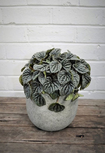 Peperomia Caperata - Haven Botanical - byron bay