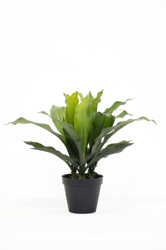 Potted Dracena