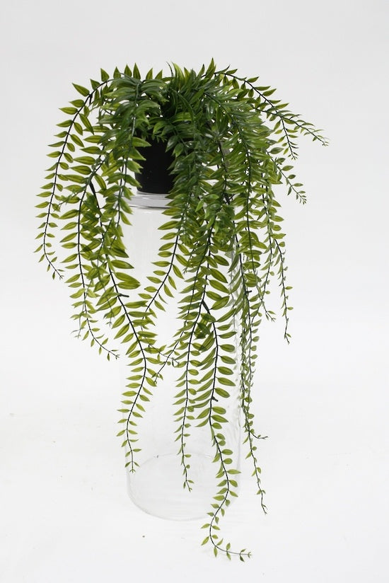 Sword Fern Potted